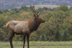 Male Elk in Rutting Season Royalty Free Stock Image