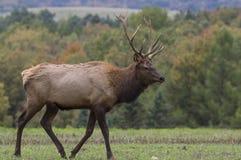 Male Elk in Rutting Season Royalty Free Stock Images