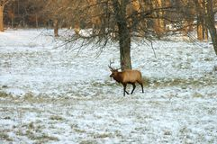 Male Elk. A single, large male elk walking across a snowy field at sunset Stock Photos