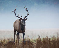 Male elk in Smokey mountains in Autumn. Young Male elk in Smokey mountains in Autumn royalty free stock images