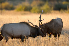 Male elk sparring Stock Photos