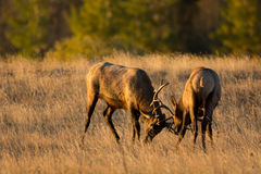Male elk sparring. Two bull elk sparring in an open meadow at sunrise in Rocky Mountain National Park near Estes Park, Colorado royalty free stock photography
