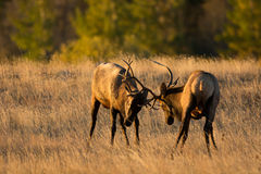 Male elk sparring Stock Image