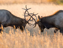 Male elk sparring. Two bull elk sparring in an open meadow at sunrise in Rocky Mountain National Park near Estes Park, Colorado royalty free stock photo