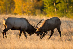 Male elk sparring. Two bull elk sparring in an open meadow at sunrise in Rocky Mountain National Park near Estes Park, Colorado stock photo