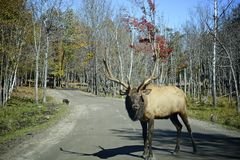 Male Elk. Standing on the middle of the road royalty free stock photo
