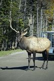Male Elk. Standing on the middle of the road stock image
