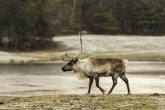 Male elk walking in a field Stock Image