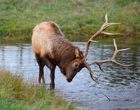 Male Elk. Or Wapiti (Cervus canadensis) near the pond in Michigan stock images