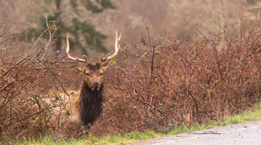 Male Elk Weathering the Rain Northern California Stock Images