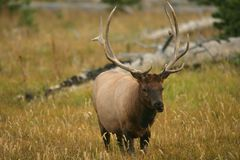 Male Elk of Yellowstone. Male Elk in Yellowstone National Park in Wyoming royalty free stock image