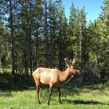 Male Elk in Yellowstone NP Stock Images