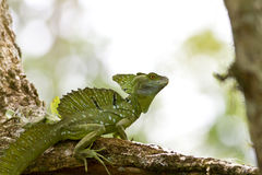 Male Emerald Basilisk Royalty Free Stock Photos
