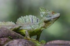 Male emerald basilisk close up Stock Photography