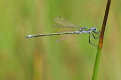 A male Emerald Damselfly Lestes sponsa perched on a reed. Royalty Free Stock Photo