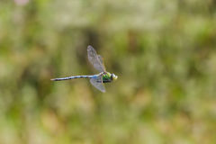 Male Emperor Dragonfly Anax imperator flying, in flight. Hawking and patrolling its territory Stock Photo