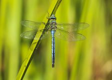 Male emperor dragonfly, Anax Imperator insect royalty free stock image