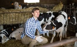 Male employee with dairy cattle in livestock farm. Country Male employee with dairy cattle in livestock farm royalty free stock images