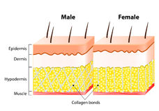 Male end female Skin. Structure and Different Stock Photo
