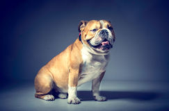Male of English bulldog Royalty Free Stock Photo