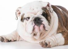 Male english bulldog Royalty Free Stock Images