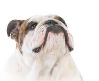Male english bulldog Royalty Free Stock Photos