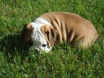 Male English Bulldog Puppy. Fawn and White Male English Bulldog Puppy laying/resting in the Grass stock image
