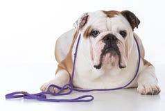 Male english bulldog Stock Image