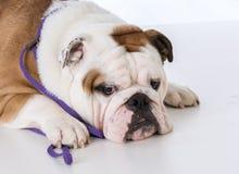Male english bulldog Stock Photography