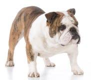 Male english bulldog Stock Photos
