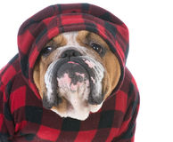 Male english bulldog Stock Images