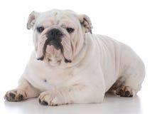Male english bulldog. On white background Royalty Free Stock Photo