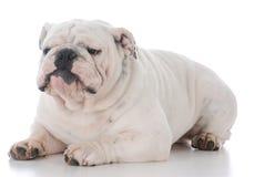 Male english bulldog. On white background Royalty Free Stock Images