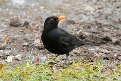 Male Eurasian Blackbird, Common Blackbird with yellow eye ring f Royalty Free Stock Photography