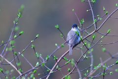 Male Eurasian blackcap on a tree Royalty Free Stock Image