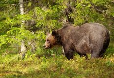 Male Eurasian brown bear standing in the forest Royalty Free Stock Photos