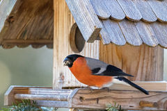 Male Eurasian Common Bullfinch with beak full of nut seed on woo Royalty Free Stock Images