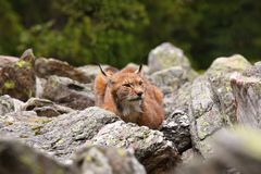 Male Eurasian Lynx lurking in the clearing Stock Images