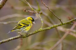 Male eurasian siskin bird. Sitting on the branch of a tree Stock Photography