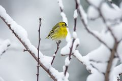 Male eurasian siskin bird in the winter. Male eurasian siskin bird sitting on the branch of a snow covered tree Royalty Free Stock Photos