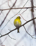 Male of Eurasian Siskin, Carduelis spinus, on branch close-up portrait, selective focus, shallow DOF.  Stock Images