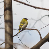 Male of Eurasian Siskin, Carduelis spinus, on branch close-up portrait, selective focus, shallow DOF.  Stock Photo