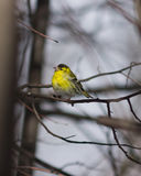 Male of Eurasian Siskin, Carduelis spinus, on branch close-up portrait, selective focus, shallow DOF.  Stock Image