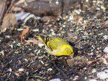 Male of Eurasian Siskin, Carduelis spinus, on dirty ground close-up portrait, selective focus, shallow DOF Stock Photos