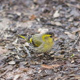 Male of Eurasian Siskin, Carduelis spinus, on dirty ground close-up portrait, selective focus, shallow DOF Stock Photography
