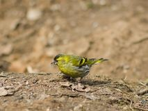 Male of Eurasian Siskin, Carduelis spinus, on dirty ground close-up portrait, selective focus, shallow DOF Royalty Free Stock Images
