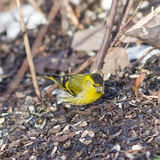 Male of Eurasian Siskin, Carduelis spinus, on dirty ground close-up portrait, selective focus, shallow DOF Royalty Free Stock Photos