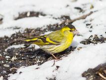 Male of Eurasian Siskin, Carduelis spinus, on dirty ground with snow close-up portrait, selective focus, shallow DOF.  Royalty Free Stock Photos
