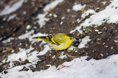 Male of Eurasian Siskin, Carduelis spinus, on dirty ground with snow close-up portrait, selective focus, shallow DOF Royalty Free Stock Images