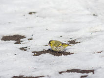 Male of Eurasian Siskin, Carduelis spinus, on dirty ground with snow close-up portrait, selective focus, shallow DOF Royalty Free Stock Photo